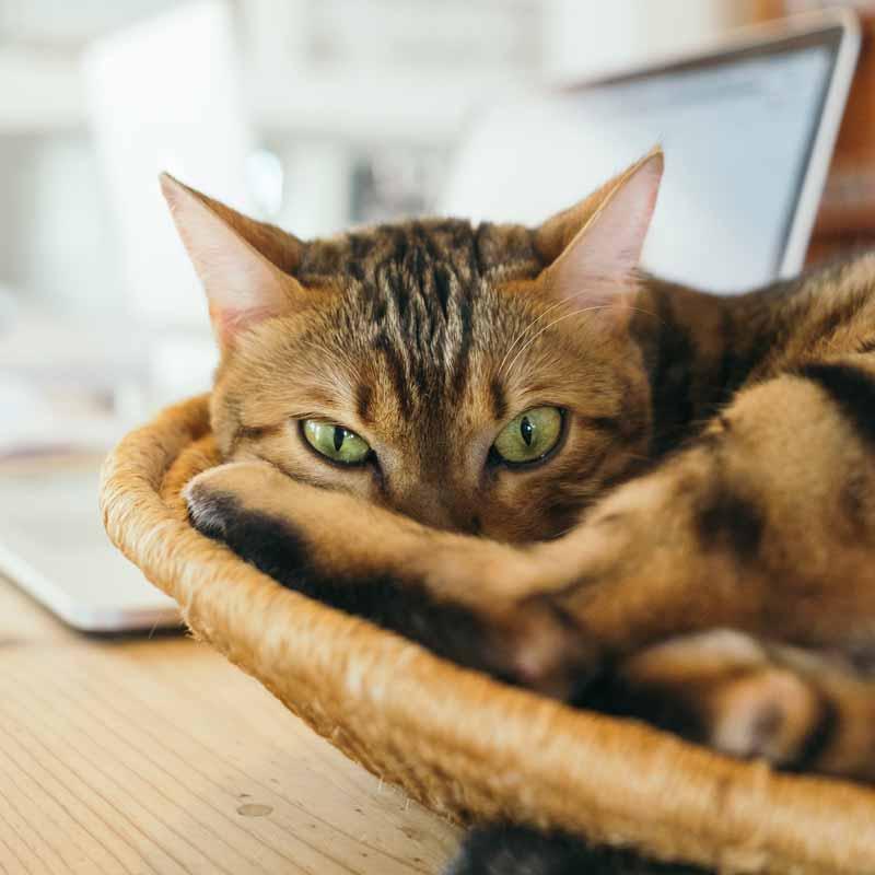 mascotas-en-casa-gato